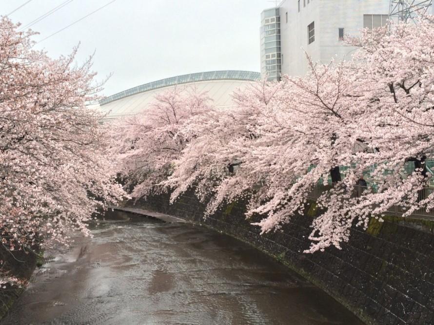 町田市恩田川の桜が満開
