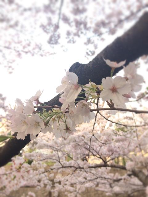 町田市つくし野&恩田川沿いの桜