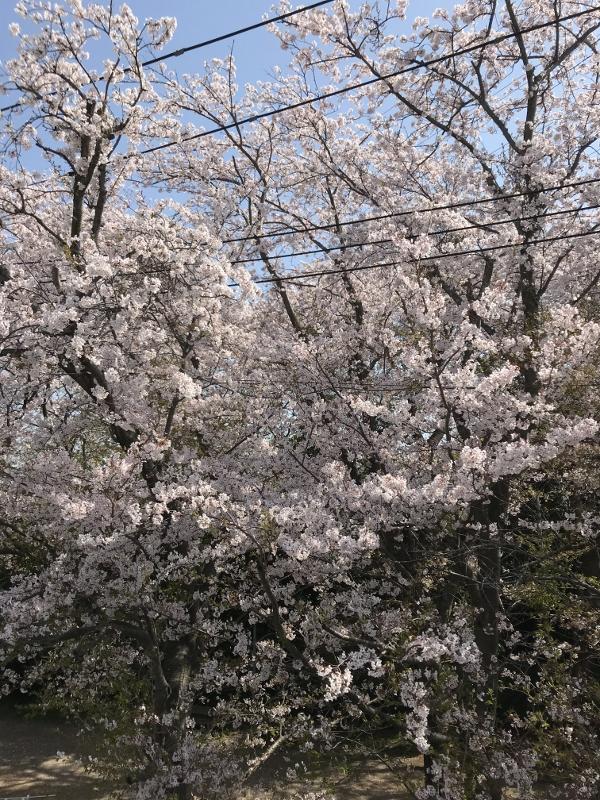 M様邸の近くの桜